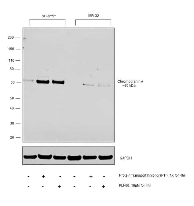 Chromogranin A Antibody in Relative expression