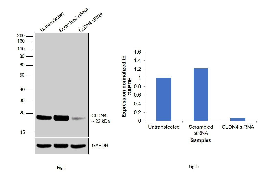 Claudin 4 Antibody in Knockdown