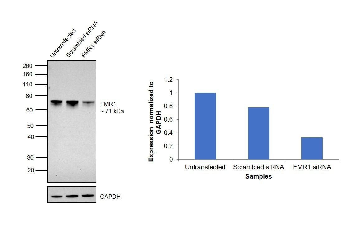 FMRP Antibody in Knockdown