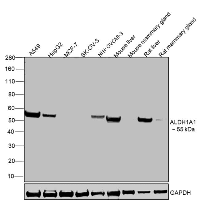 ALDH1A1 Antibody in Relative expression
