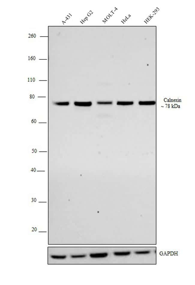 Calnexin Antibody in Western Blot (WB)