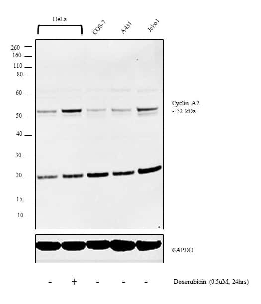 Cyclin A2 Antibody in Cell Treatment