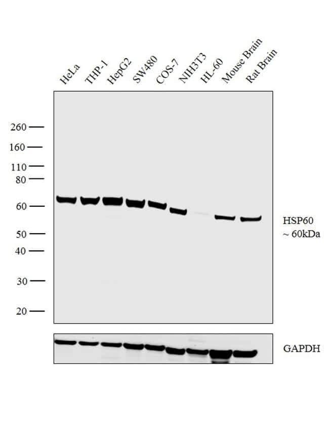 HSP60 Antibody in Relative expression