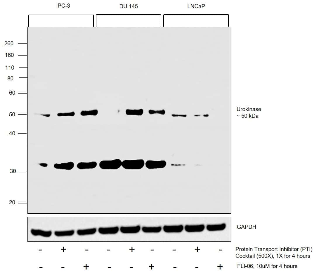 Urokinase Antibody in Western Blot (WB)