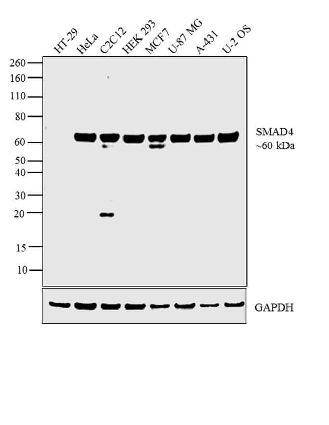 SMAD4 Antibody in Relative expression