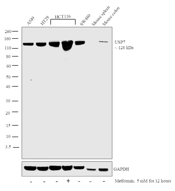 USP7 Antibody in Relative expression