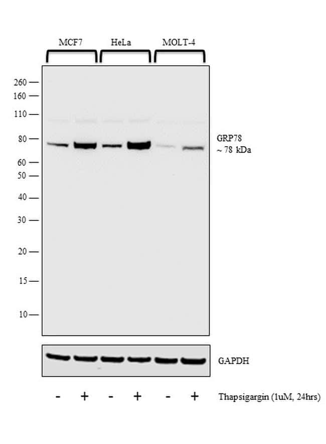 GRP78 Antibody in Cell treatment