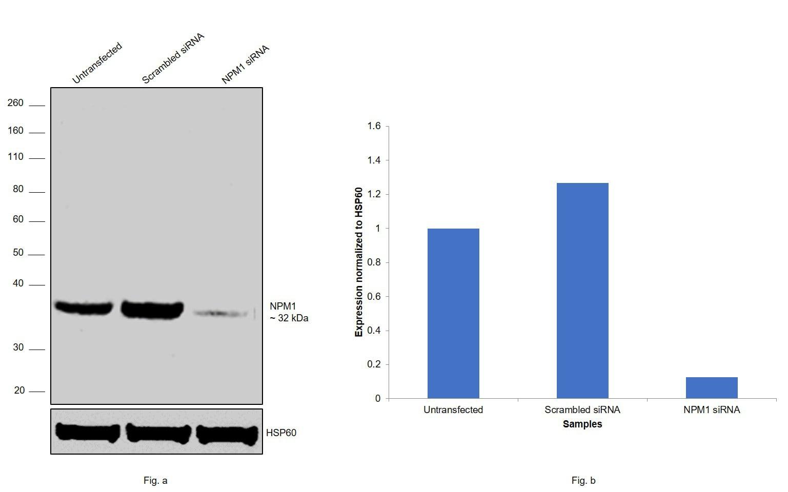 NPM1 Antibody in Knockdown
