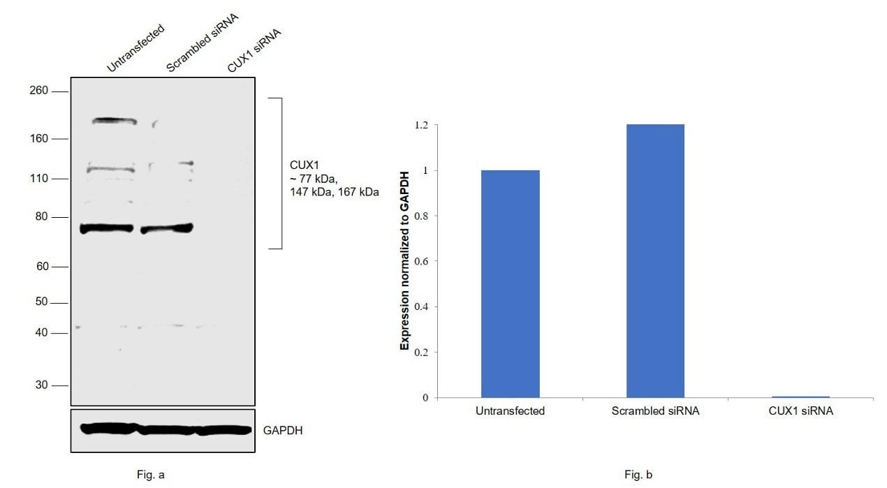 CUX1/Protein CASP Antibody in Western Blot (WB)