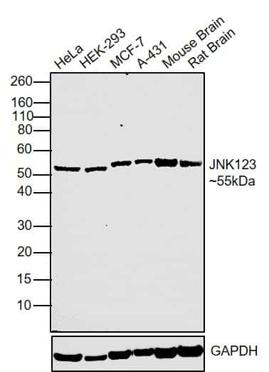 JNK1/JNK2/JNK3 Antibody in Western Blot (WB)