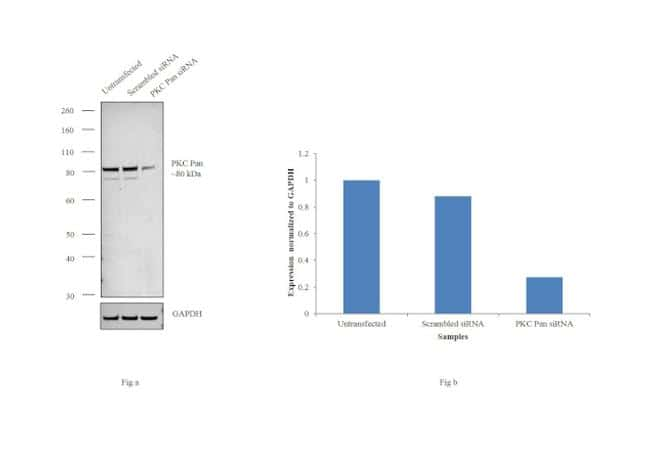 PKC Pan Antibody in Western Blot (WB)