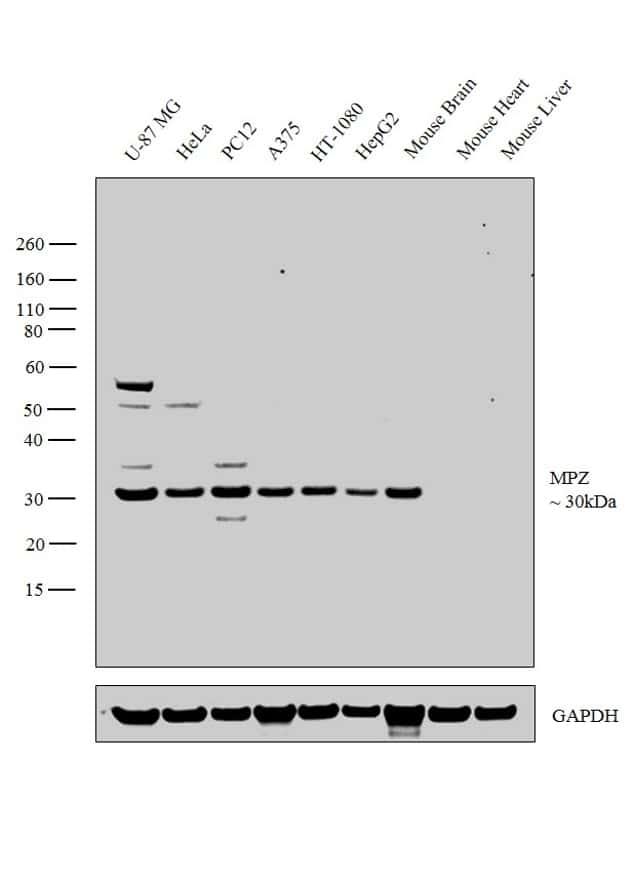 MPZ Antibody in Relative expression