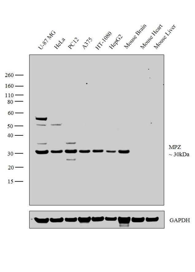 MPZ Antibody in Western Blot (WB)