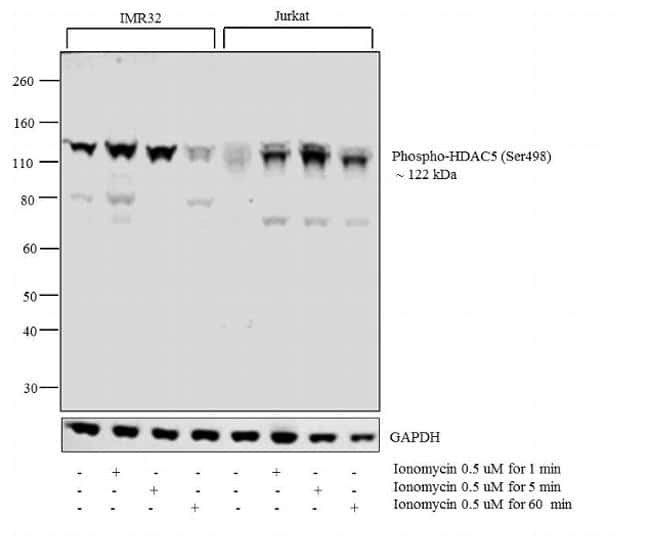 Phospho-HDAC5 (Ser498) Antibody in Cell Treatment