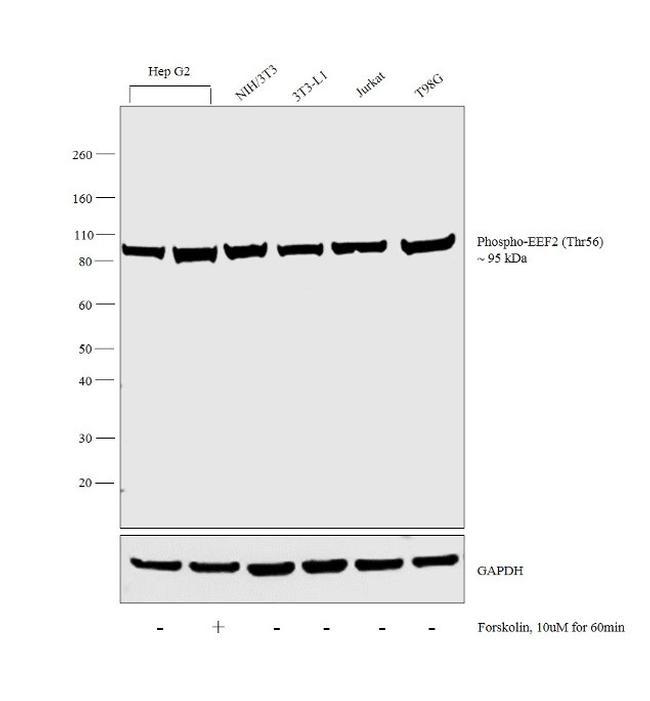 Phospho-EEF2 (Thr56) Antibody in Cell treatment