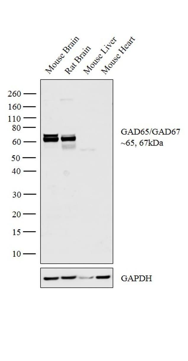 GAD65/GAD67 Antibody in Western Blot (WB)
