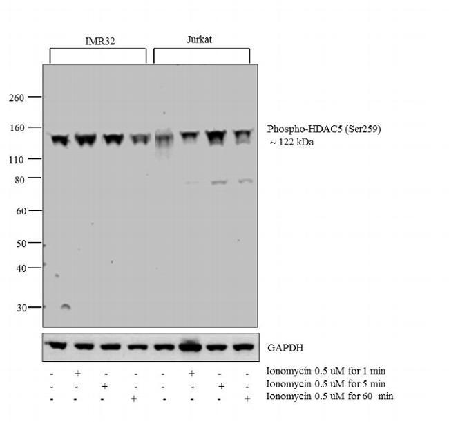 Phospho-HDAC5 (Ser259) Antibody in Western Blot (WB)