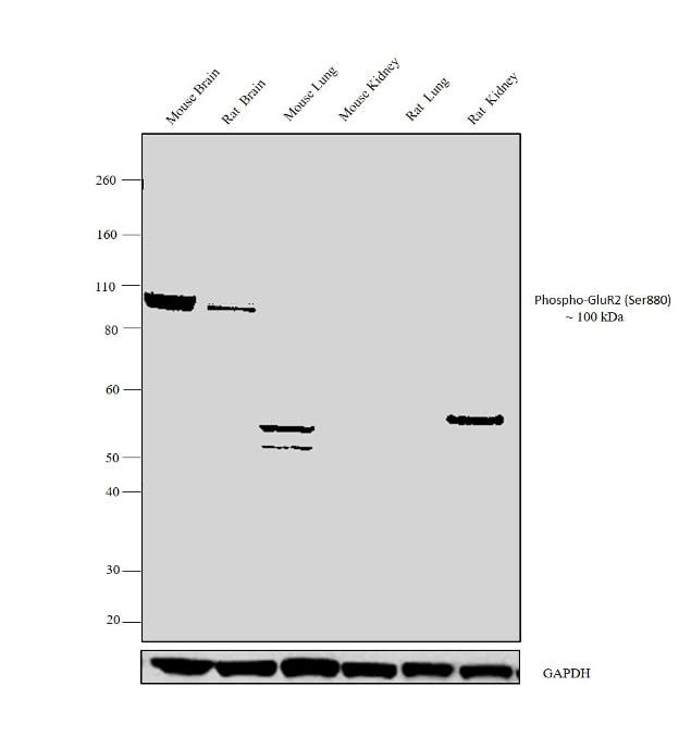 Phospho-GluR2 (Ser880) Antibody in Relative expression