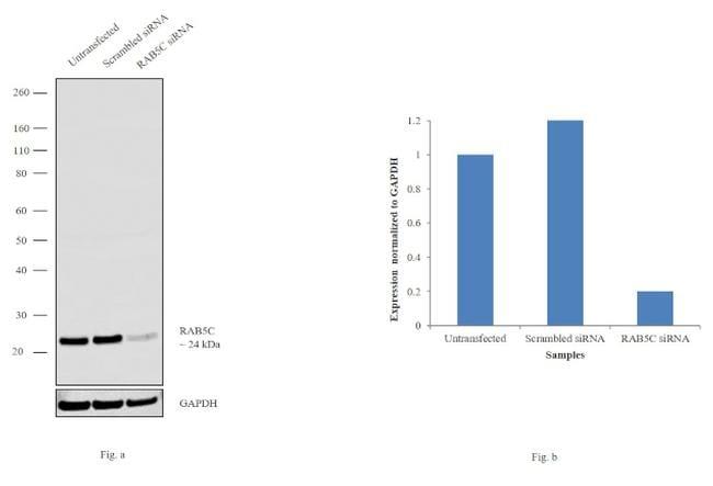 RAB5C Antibody in Western Blot (WB)