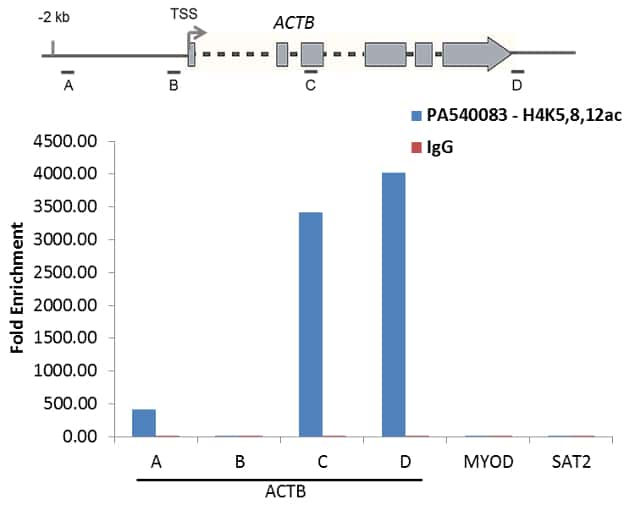 H4ac pan-acetyl (K5,K8,K12) Antibody in ChIP assay (ChIP)