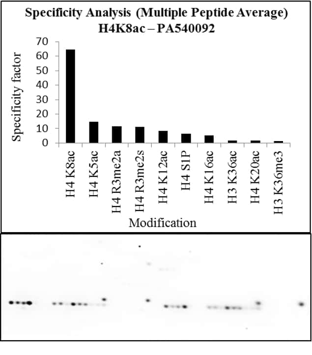 Acetyl-Histone H4 (Lys8) Antibody in Peptide Array (Array)
