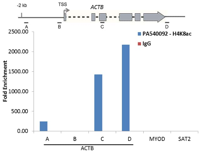 Acetyl-Histone H4 (Lys8) Antibody in ChIP assay (ChIP)