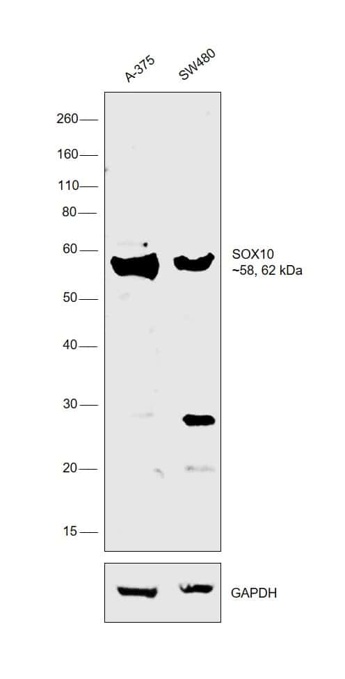 SOX10 Antibody in Relative expression