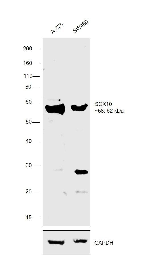 SOX10 Antibody in Western Blot (WB)
