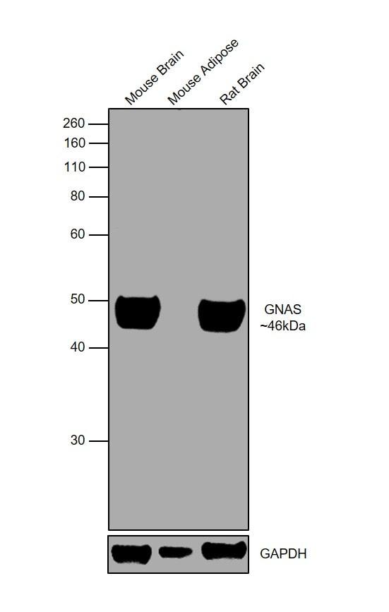 GNAS Antibody
