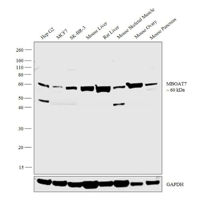 MBOAT7 Antibody in Western Blot (WB)