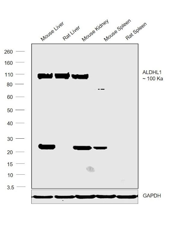 ALDH1L1 Antibody in Relative expression