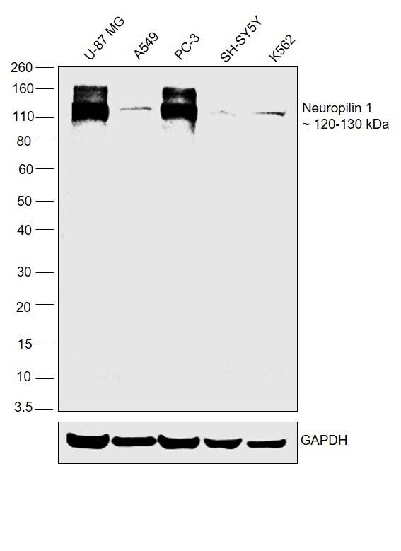 Neuropilin 1 Antibody in Relative expression
