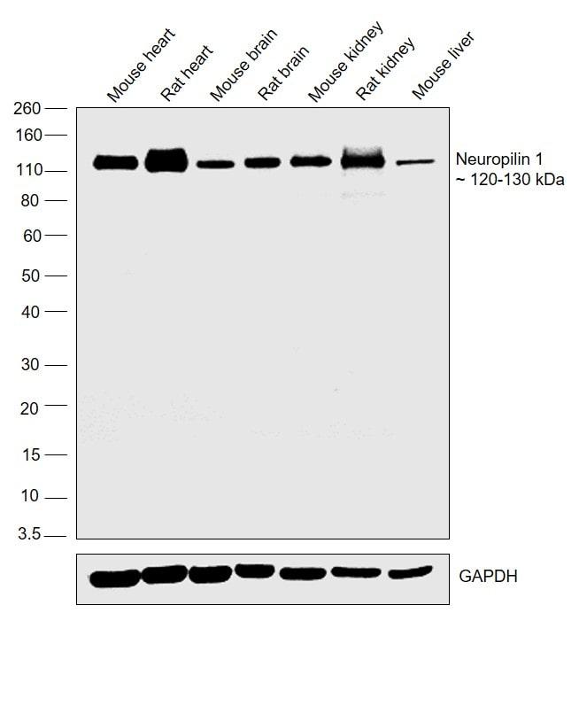 Neuropilin 1 Antibody in Western Blot (WB)