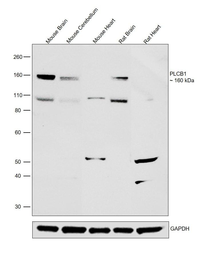 PLCB1 Antibody in Western Blot (WB)