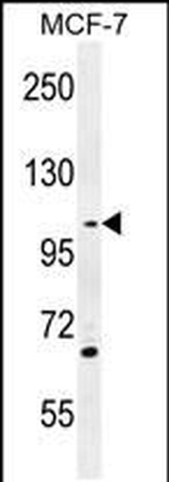 GAS2L2 Antibody in Western Blot (WB)