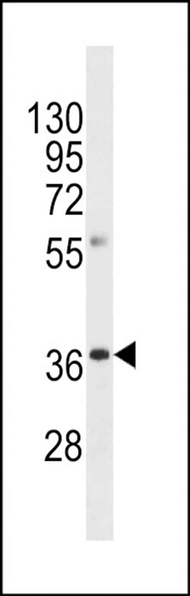 OR8A1 Antibody in Western Blot (WB)