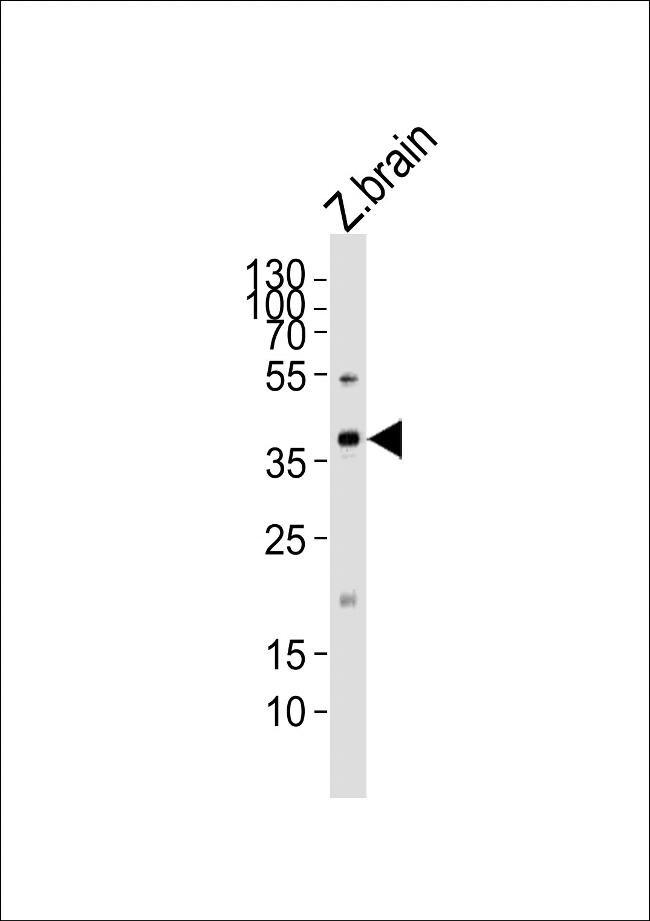 MAB21L2 Antibody in Western Blot (WB)
