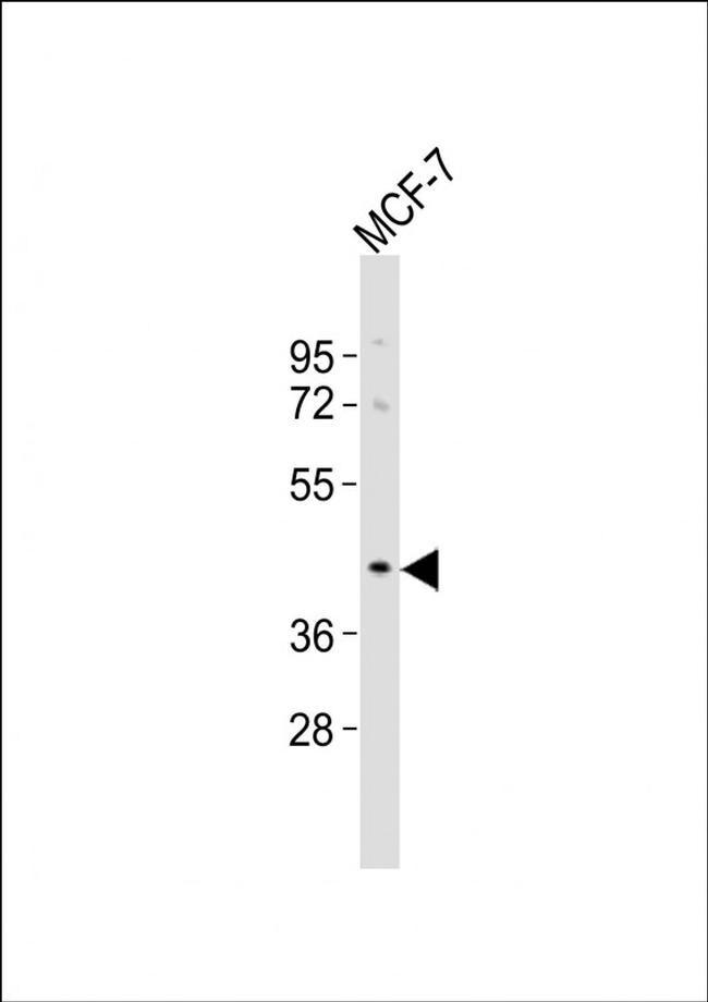 OR5A1 Antibody in Western Blot (WB)
