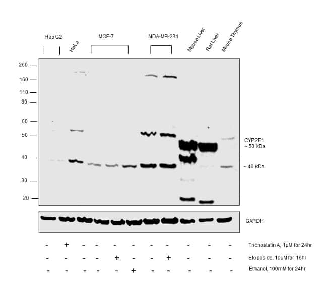 CYP2E1 Antibody in Relative expression