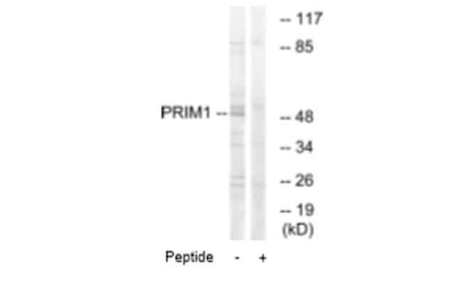 DNA Primase Antibody in Western Blot (WB)