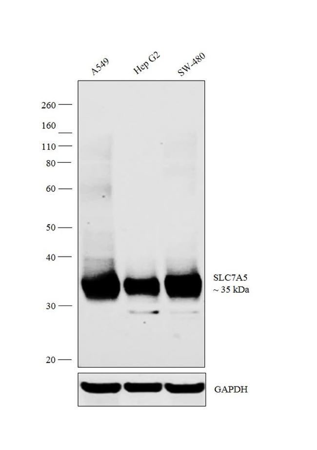 SLC7A5 Antibody in Western Blot (WB)