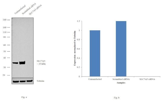 SLC7A5 Antibody in Knockdown