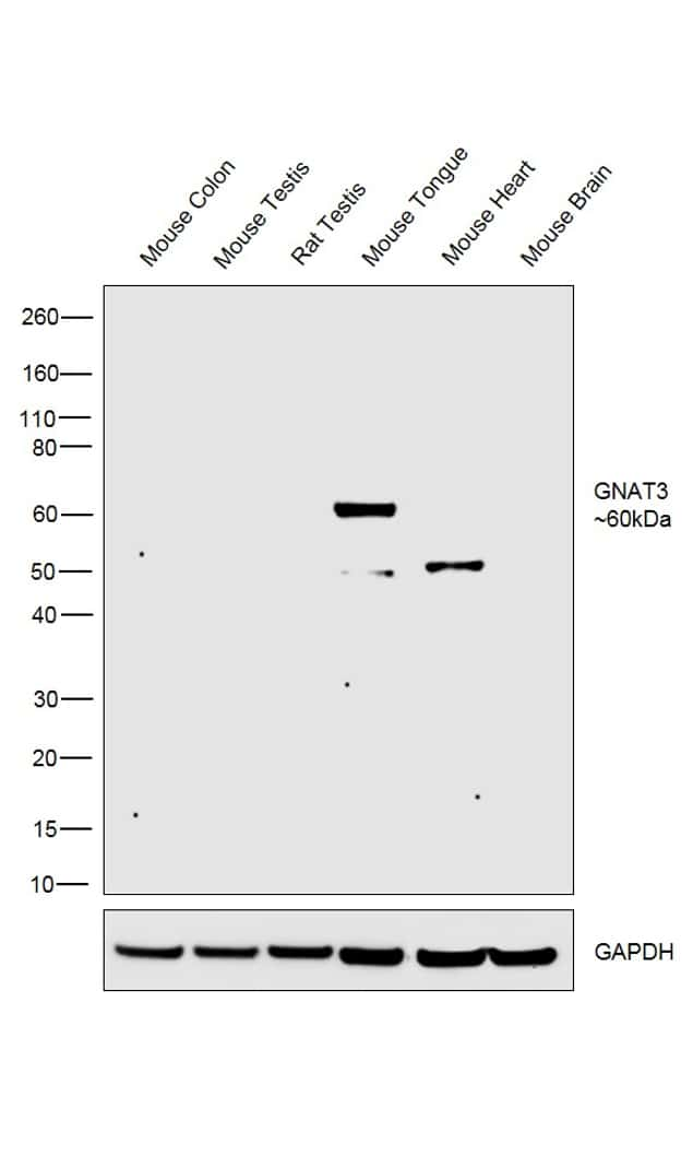 GNAT3 Antibody in Relative expression