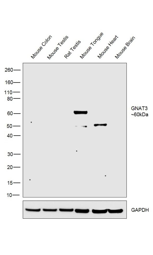 GNAT3 Antibody in Western Blot (WB)