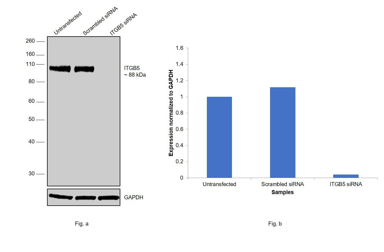 ITGB5 Antibody in Western Blot (WB)