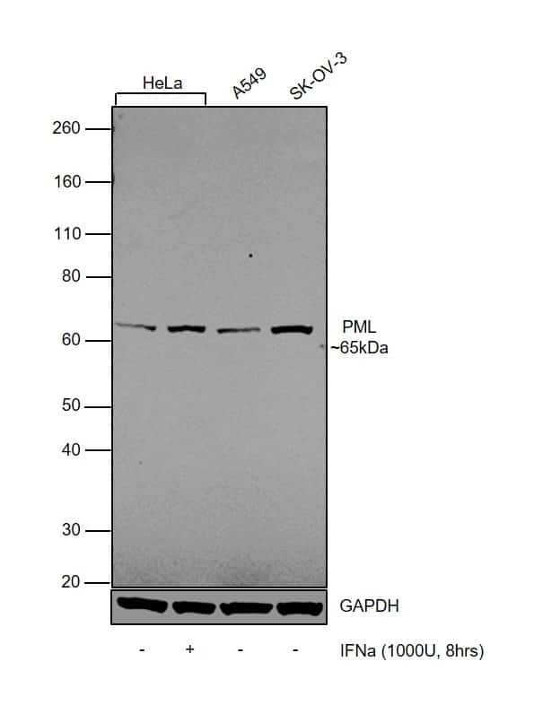 PML Antibody in Cell treatment