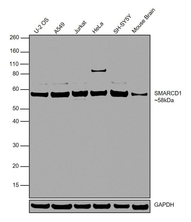 SMARCD1 Antibody in Western Blot (WB)