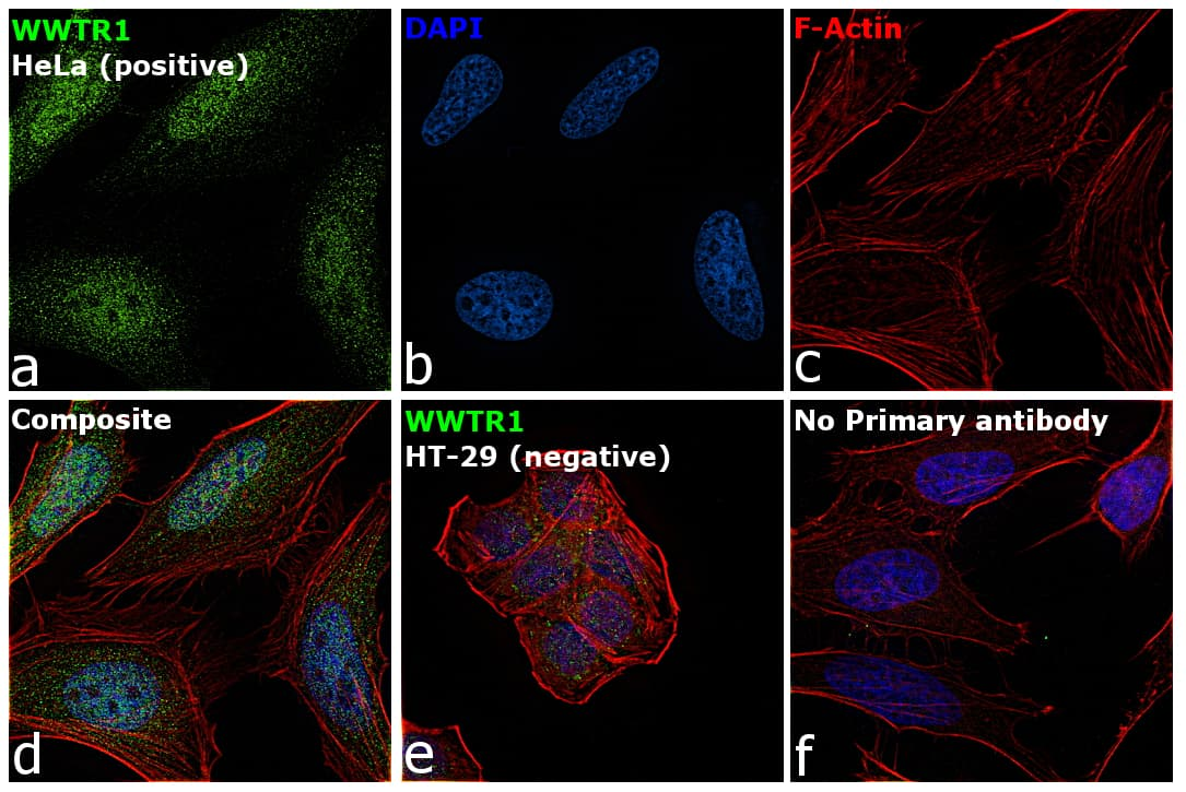 WWTR1 Antibody in Immunocytochemistry (ICC)