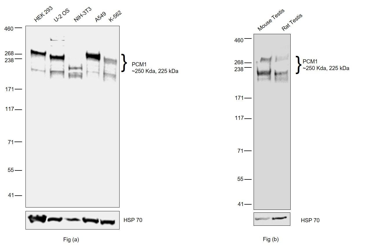 PCM1 Antibody in Western Blot (WB)