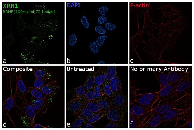 XRN1 Antibody in Immunofluorescence (IF)